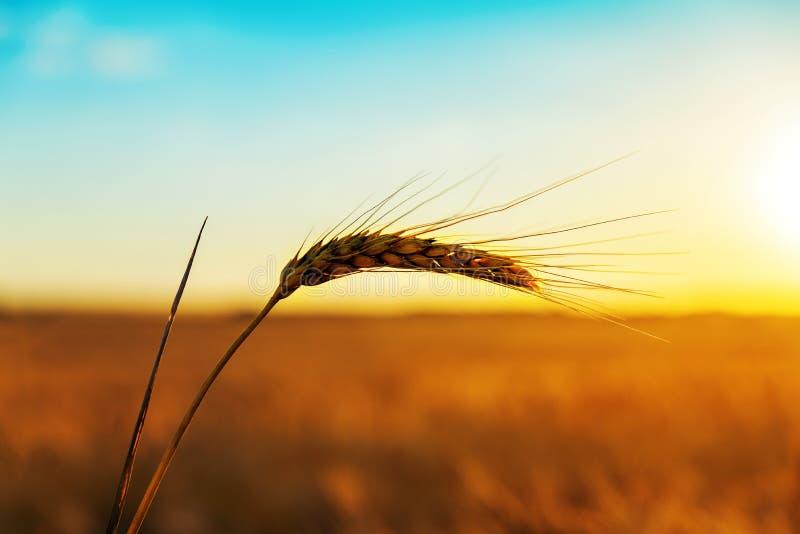 Goldene Ernte in der Sonnenuntergangzeit lizenzfreie stockfotos