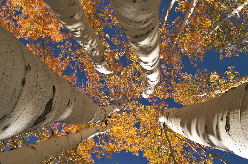 Goldene Espen stockfotografie