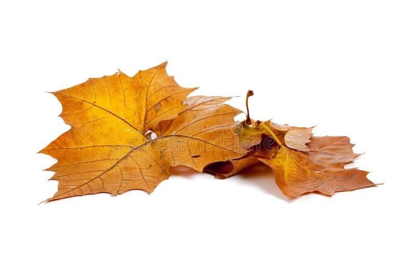 Goldene Fallblätter auf einem weißen Hintergrund stockfotos