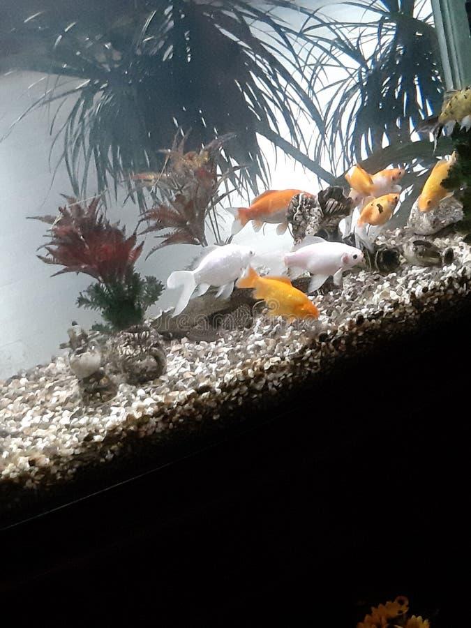 Goldene Fische im acvarium stockfotos