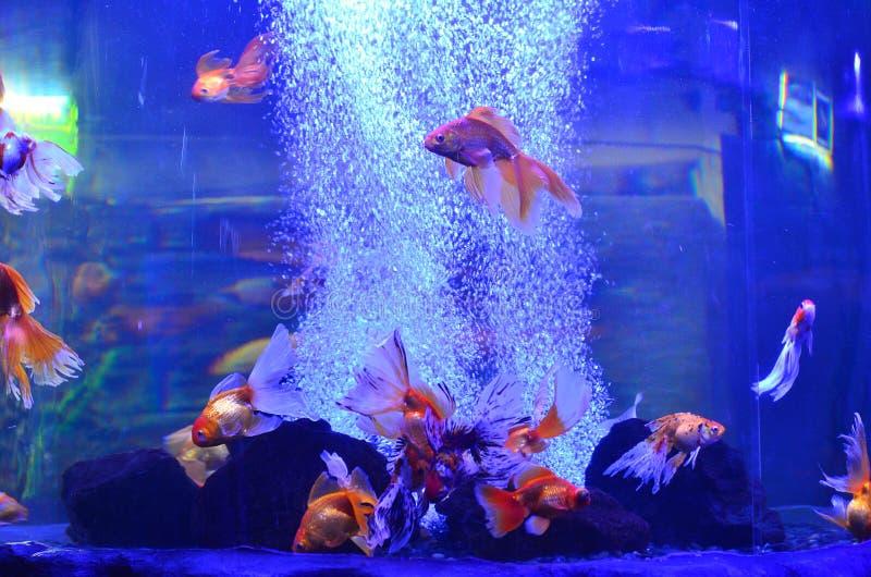 Goldene Fische schwimmen in das Aquarium nahe den Steinen lizenzfreie stockfotos