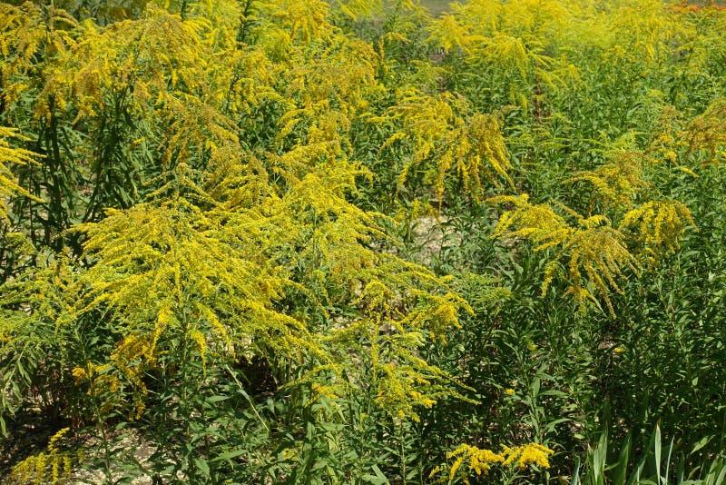 Goldene gelbe Blumen von Solidago im August lizenzfreie stockfotos