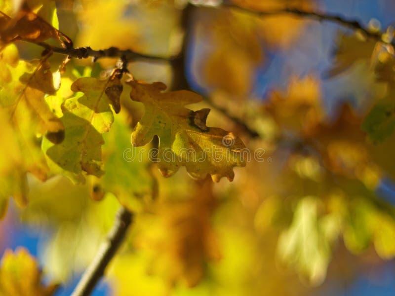 Goldene gelbe Eiche verlässt indischen Sommer stockfotos