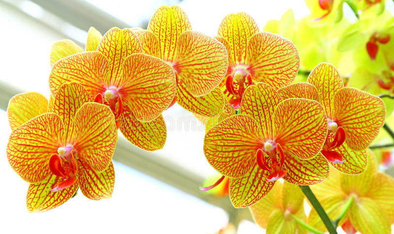 Goldene gelbe Phalaenopsisorchideen lizenzfreies stockbild