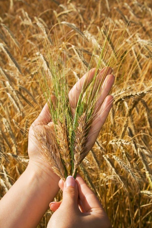 Goldene Getreide in den Frauenhänden lizenzfreie stockfotos