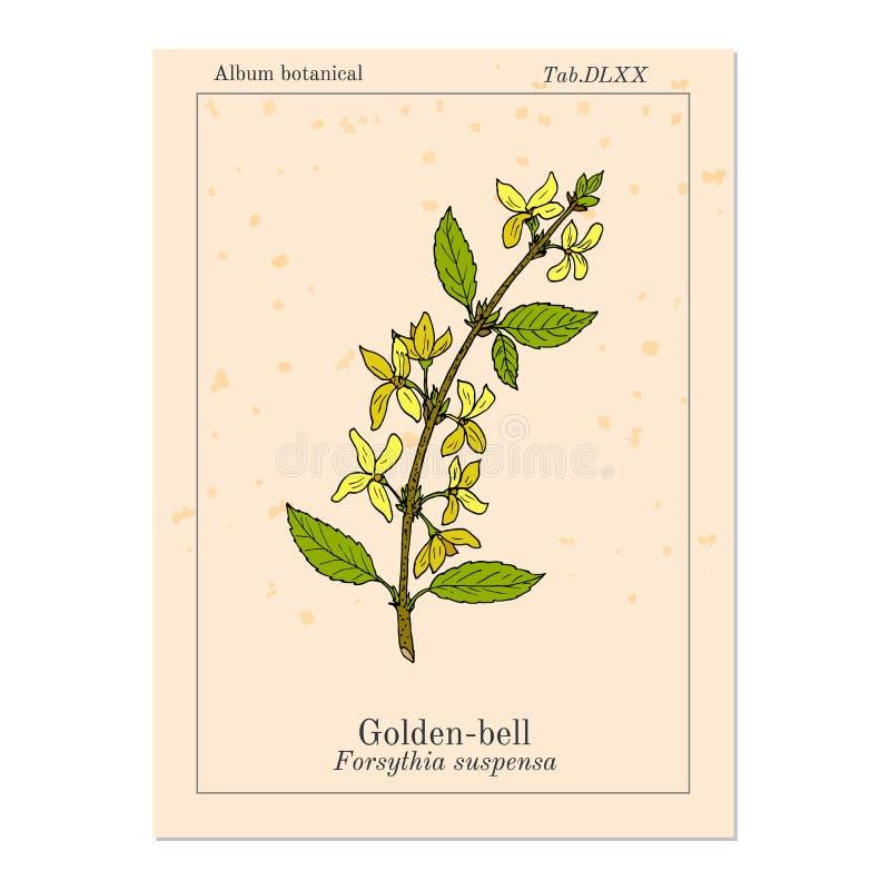 Goldene Glocke Forsythie suspensa, Heilpflanze vektor abbildung