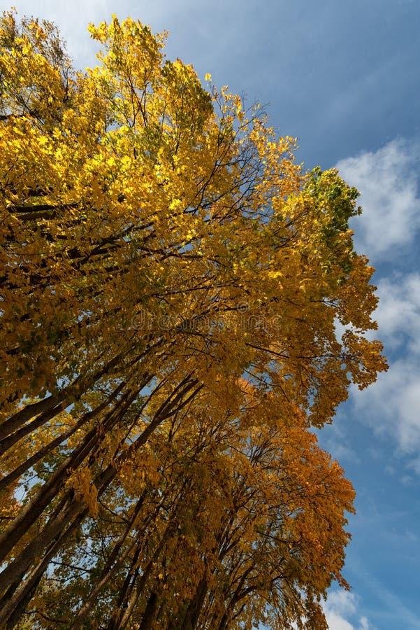 Goldene Herbstbäume lizenzfreie stockfotos
