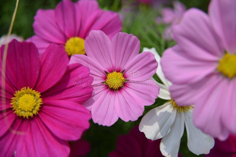 Goldene Kosmos-Blumen stockbilder