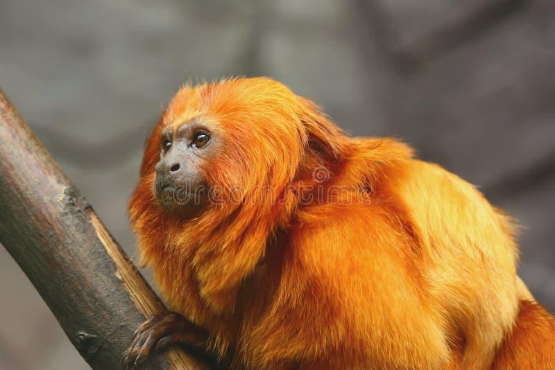 Goldene Löwe Tamarin-Seite Ansicht lizenzfreies stockbild