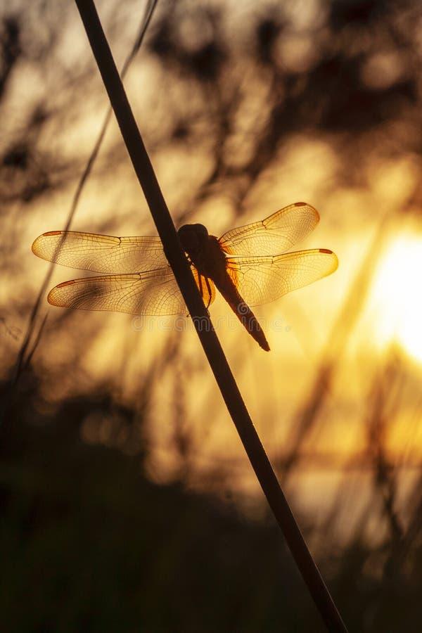 Goldene Libelle stockbilder