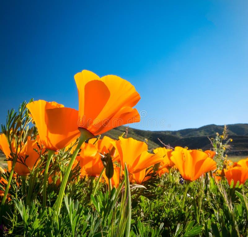 Goldene Mohnblumen Kaliforniens gegen einen blauen Himmel lizenzfreie stockbilder