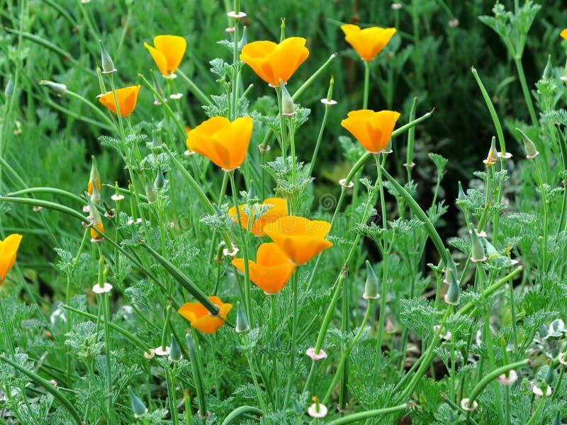 Goldene Mohnblumen zwischen grünen Gräsern stockbild