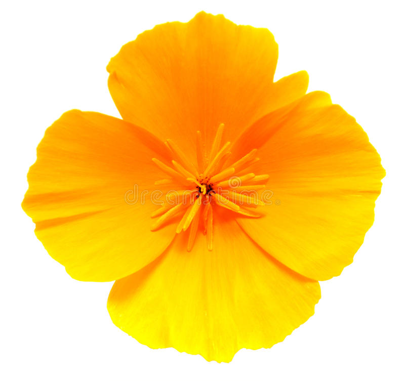 Goldene Mohnblumenblume Kaliforniens lokalisiert auf Weiß stockfotografie