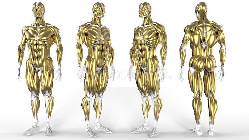Goldene Muskeln vektor abbildung