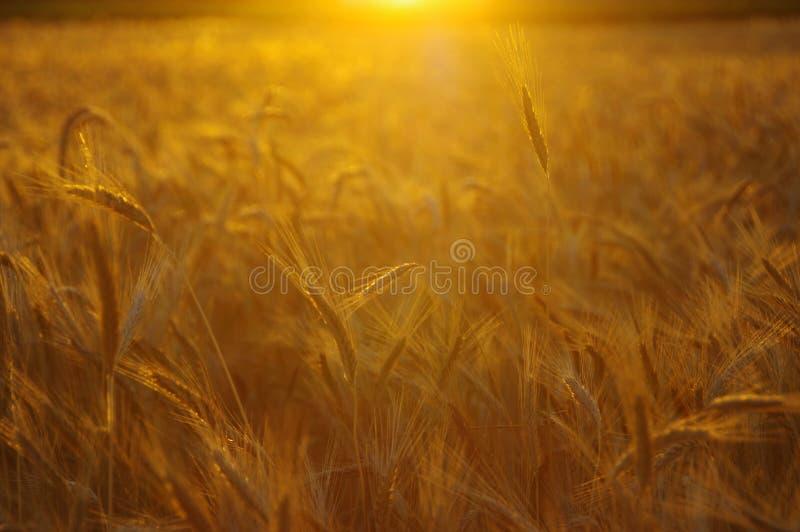 goldene Ohren des Roggens stockfoto