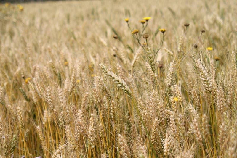 Goldene Ohren des Weizens auf einem Feld stockfotos