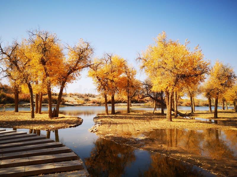 Goldene Pappel-Bäume stockbilder