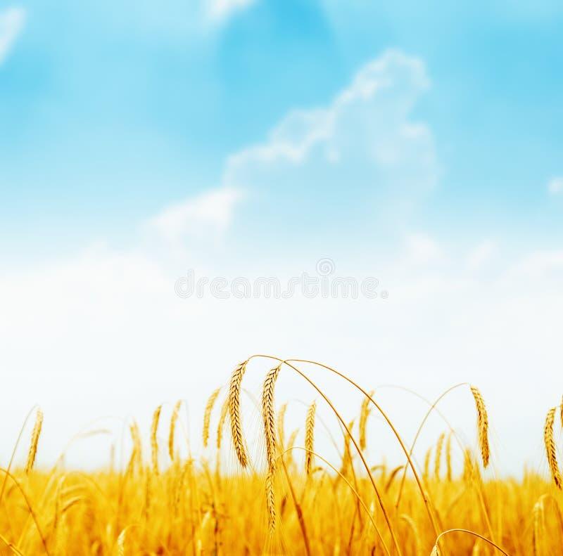 Goldene reife Ernte auf Feld und blauem Himmel stockfotografie