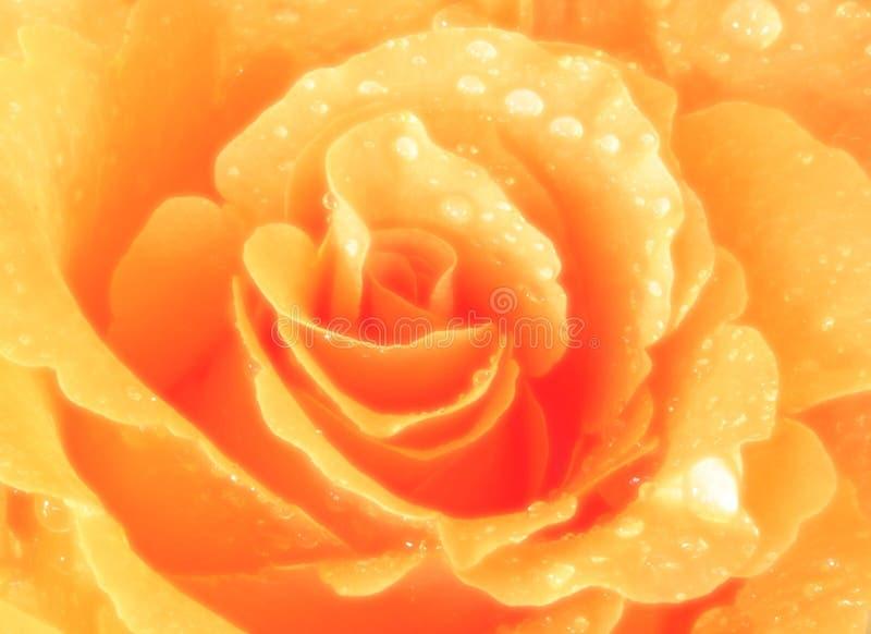 Goldene Rose lizenzfreie stockbilder