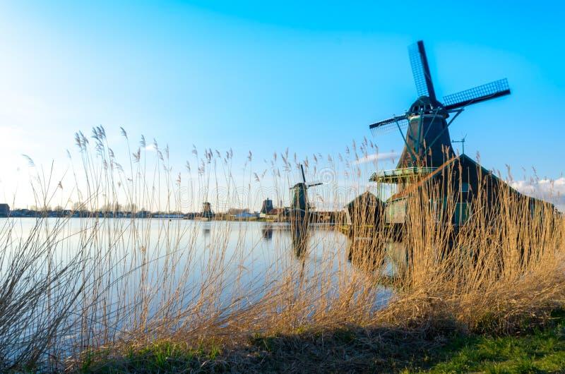 Goldene Schilfe, die durch die historischen Windmühlen bei Zaanse Schans, die Niederlande wachsen lizenzfreie stockfotografie