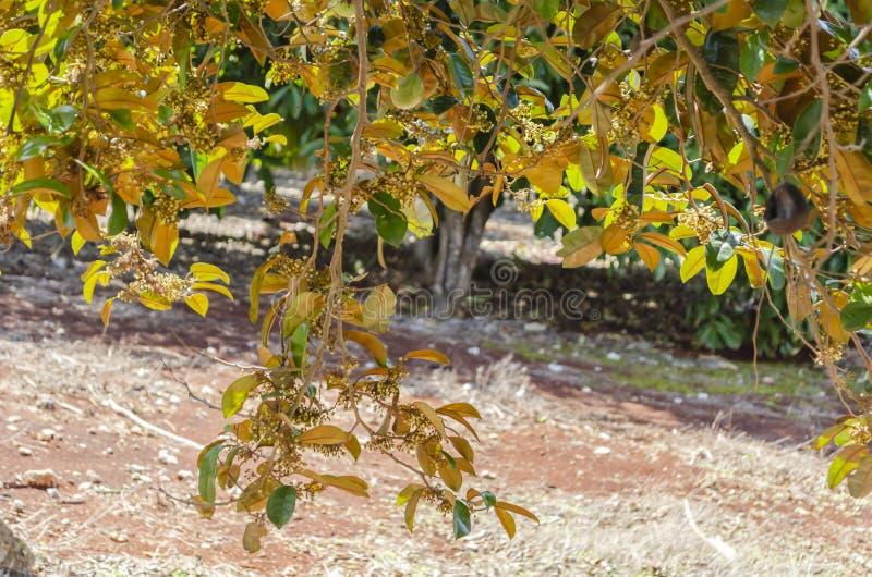 Goldene Seite des Chrysophyllum Cainito-Baums stockfotos