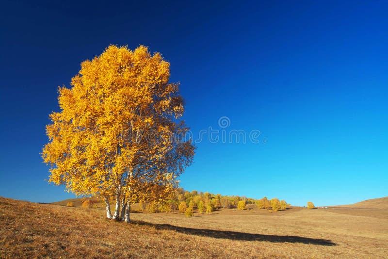 Goldene silberne Birke stockfotos