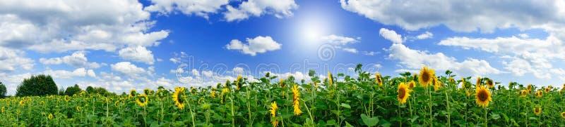 Goldene Sonnenblumeplantage. stockfotografie