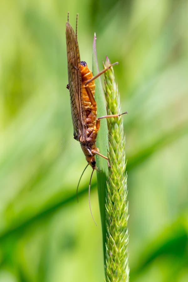 Goldene Stonefly Salmonfly-Luke Deschutes stockbilder