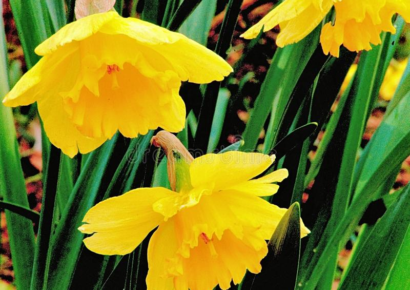 Goldene Trompeten der wilden Narzisse erhellen einen Frühlings-Tag stockbild