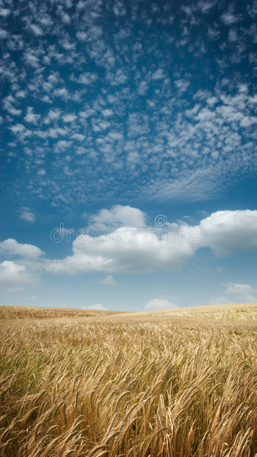 Goldene Weitwinkelfelder lizenzfreies stockfoto