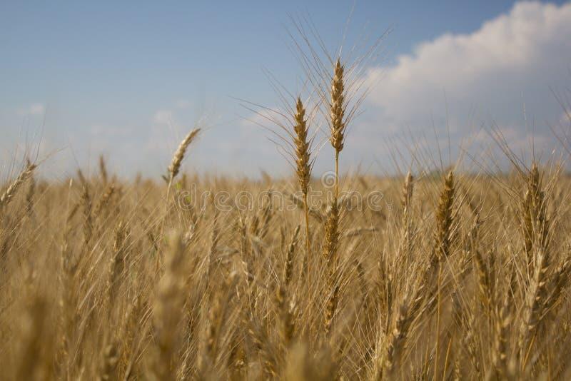 Goldene Weizenfelder lizenzfreies stockfoto