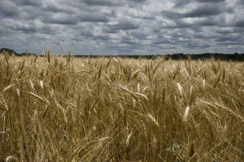 Goldene Weizenfelder stockfotografie