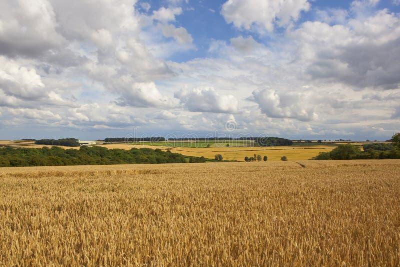 Goldene Weizenfelder unter einem schönen Sommerhimmel stockbilder