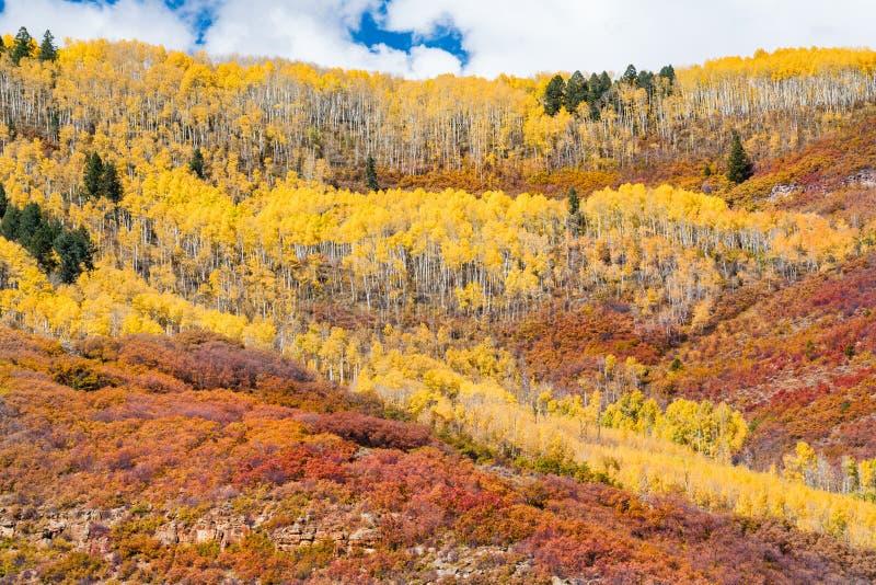 Goldene Wellen von Aspen Trees stockfotografie