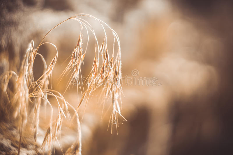 Goldene wilde Hafer lizenzfreies stockfoto