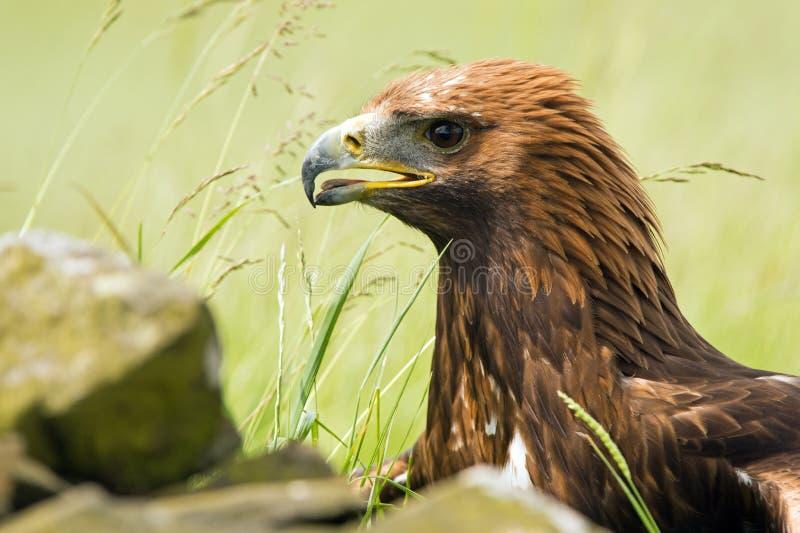 Goldener Adler stockbild