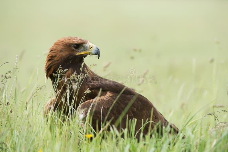 Goldener Adler Aquila Chrysaetos lizenzfreies stockbild