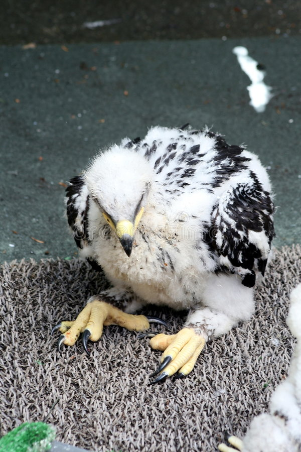 Goldener Adler des Schätzchens lizenzfreies stockfoto