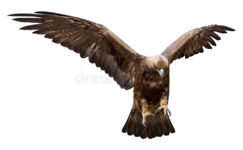 Goldener Adler, getrennt stockfotos