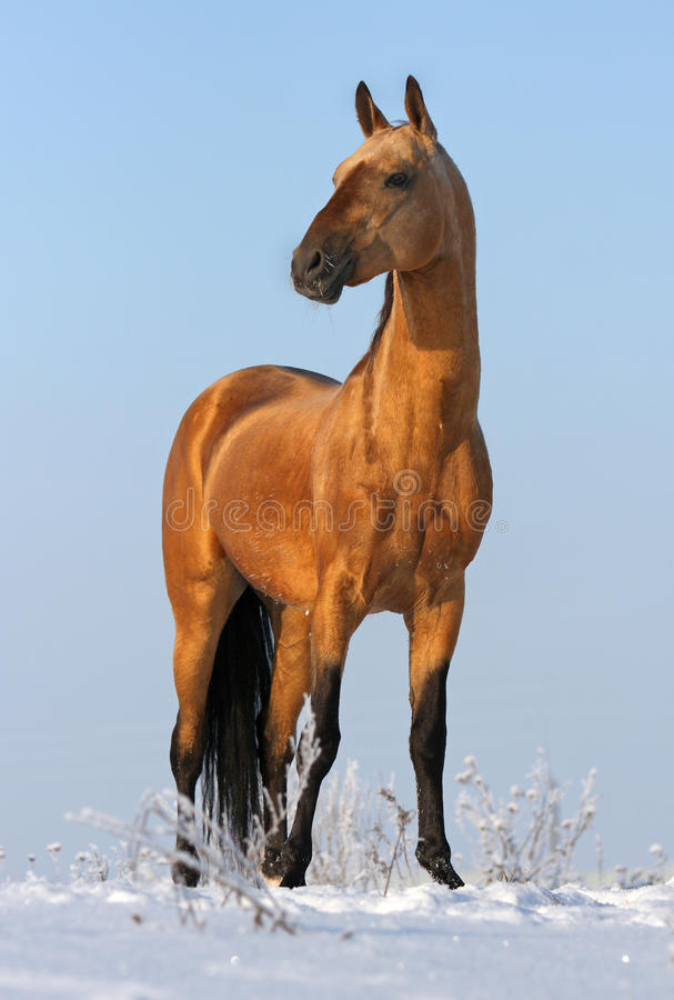 Goldener akhalteke Stallion stockfoto