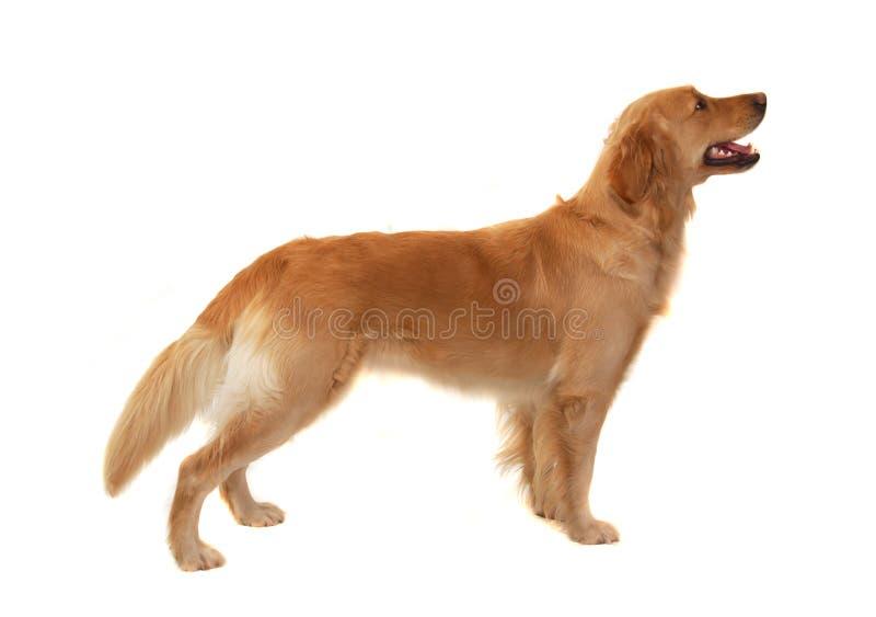 Goldener Apportierhund lizenzfreie stockfotos