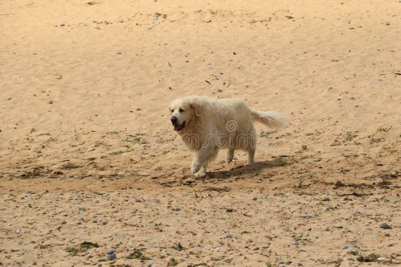 Goldener Apportierhund auf dem Strand stockbilder