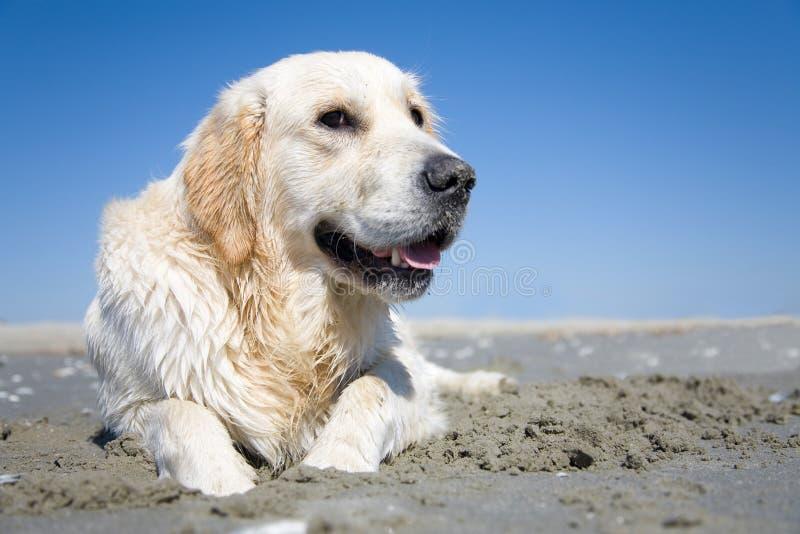 Goldener Apportierhund auf einem sandigen Strand stockfoto