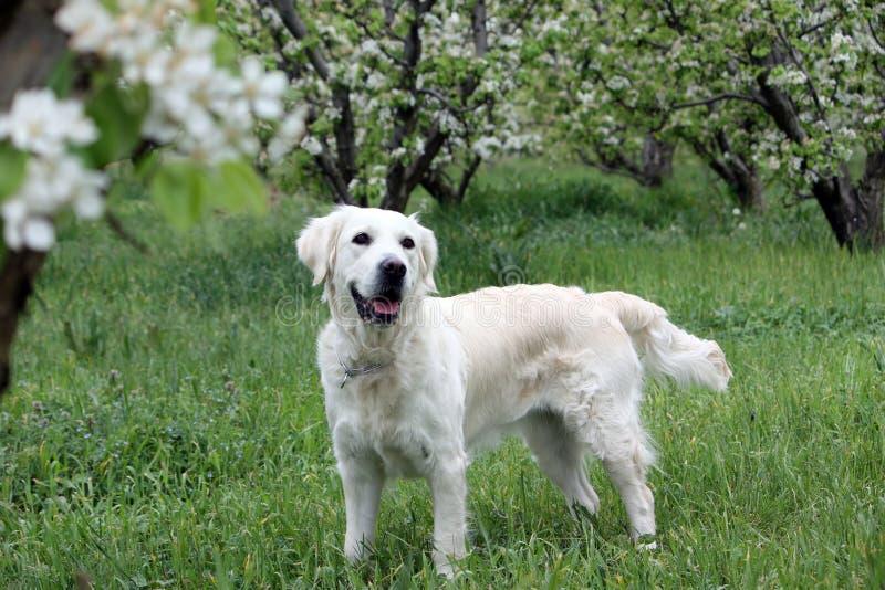 Goldener Apportierhund im Frühjahr lizenzfreie stockfotos