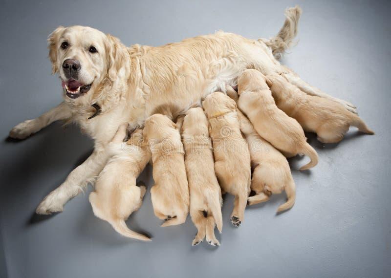 Goldener Apportierhund mit Welpen lizenzfreies stockfoto