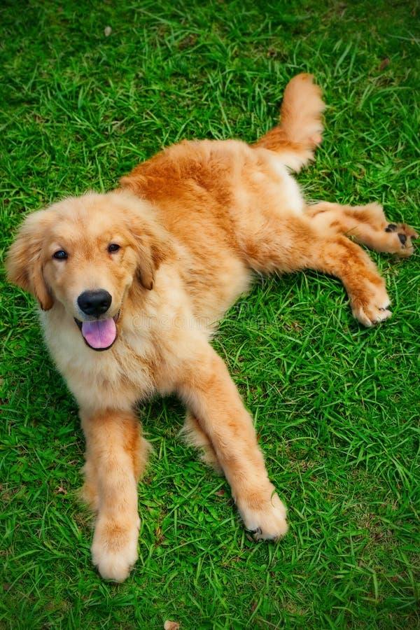 Goldener Apportierhund puppie lizenzfreies stockfoto