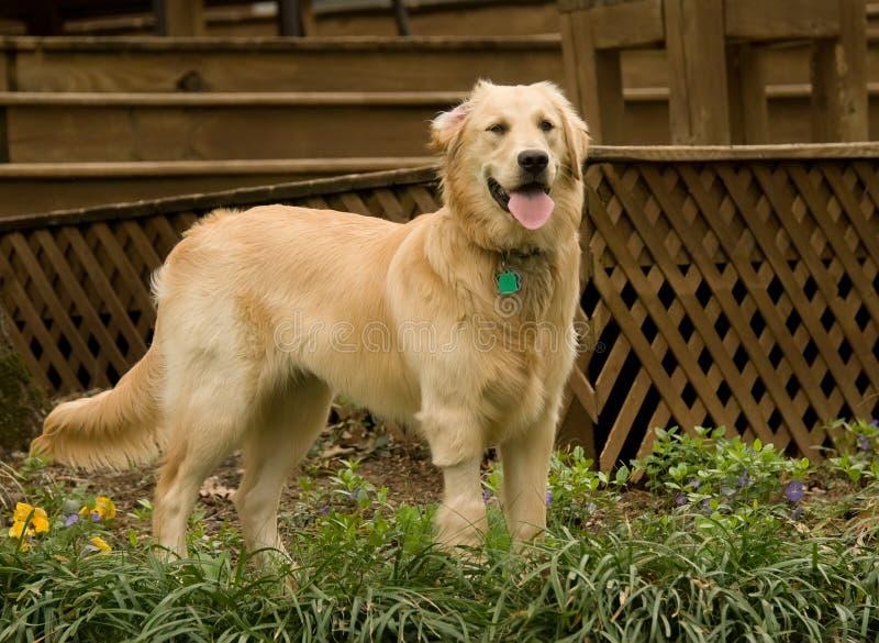 Goldener Apportierhund pupppy lizenzfreie stockbilder