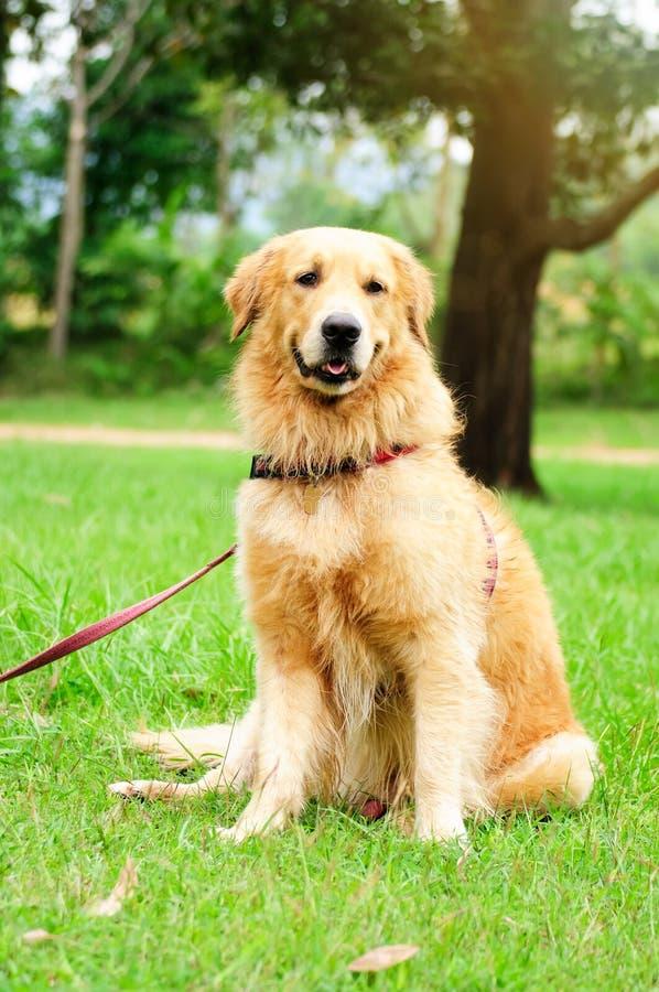 Goldener Apportierhund-Sitzen lizenzfreie stockfotografie