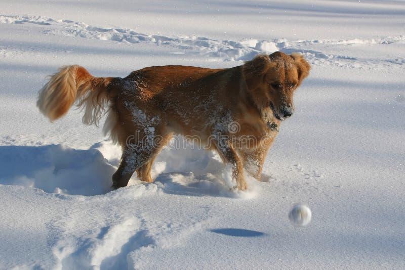 Goldener Apportierhund-Spiele im Schnee stockfoto