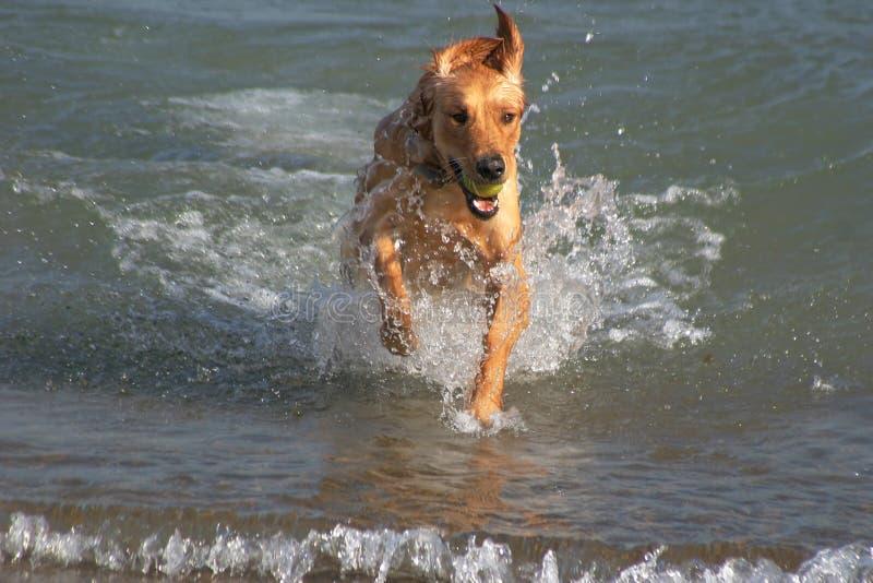 Goldener Apportierhund-Spiele im Wasser stockfotografie